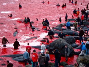 Dolphins Slaughtered in Japan