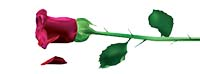 single_red_rose small png